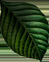 foglia botanica
