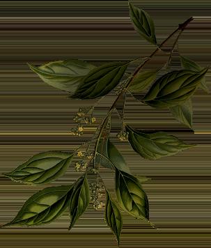 grafica illustrazione botanica