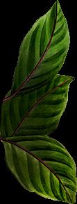 illustrazione botanica foglie